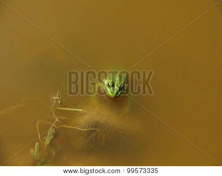 Macro shot of a male toad in pond