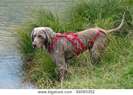 Weimaraner Wearing A Red Harness
