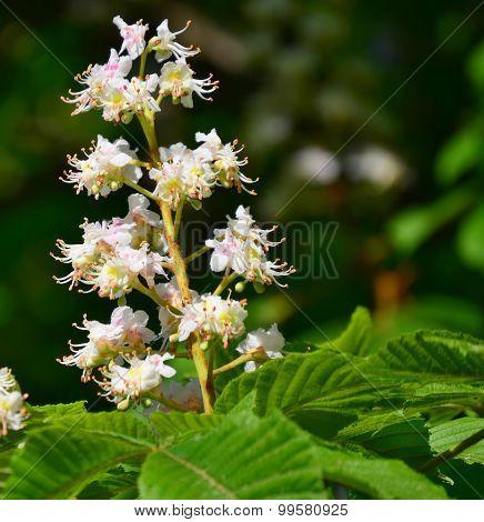 Flower Horse-chestnut, South Bohemia