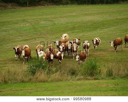 Running Herd Of Cows Grazing Land
