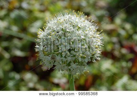 Blooming hand Luke stalked Allium stipitatum with seeds