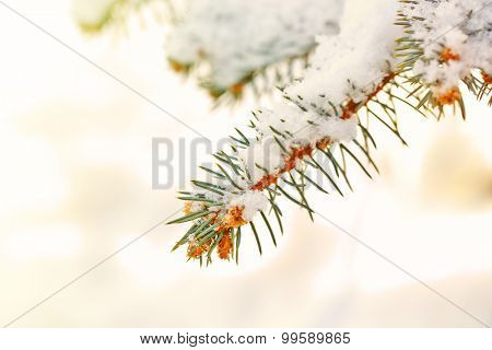 Covered with snow branch of spruce, outdoors
