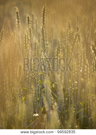 Common Wheat