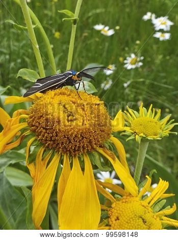 A Ctenucha Tiger Moth On A Sunflower