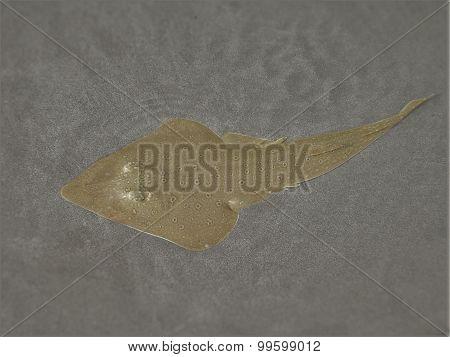 Lesser Guitarfish