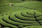 This is the very famous area known for hand-picking of tea poster