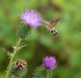 picture of moth  - Butterfly named Hummingbird hawk - JPG