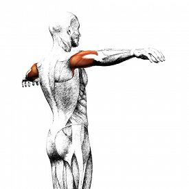 stock photo of triceps brachii  - Concept or conceptual 3D triceps human anatomy or anatomical and muscle sketch isolated on white background - JPG