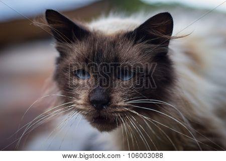 Blue Eyed Sleepy Cat