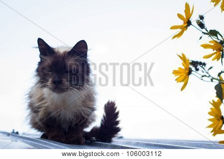 Furry Brown Blue Eyed Cat On Roof