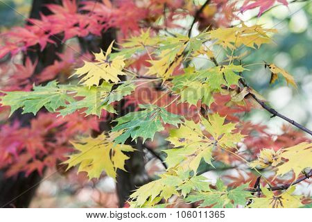 Green Yellow And Red Maple Leaves
