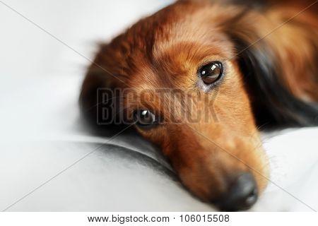 Longhair dachshund dog