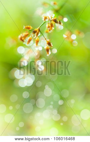 Closeup Of Beautiful Poaceae With Dew On Blurred Bokeh Background. Outdoors.