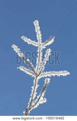 Naked Branch Covered With Hoarfrost