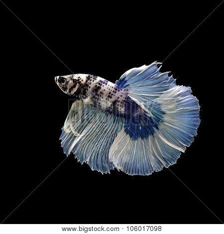 Betta Fish, Siamese Fighting Fish Isolated On Black