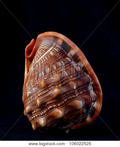 Sea shell isolated in black,Marine sea shell in a studio setting against a dark background. Shell