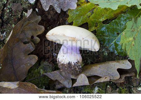 Lepista Saeva Mushroom