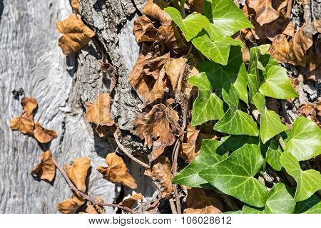 Bindweed On A Trunk Of An Olive Tree