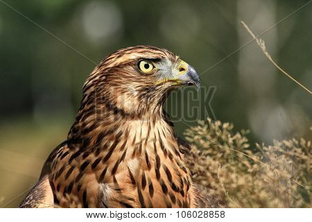 Portrait Of A Golden Eagle