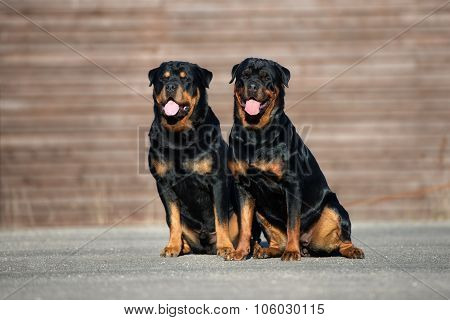 two rottweiler dogs together outdoors