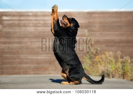beautiful rottweiler dog posing outdoors