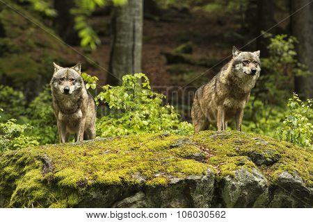 European Wolf, Europaeischer Wolf, Canis Lupus, Wolf, Czech Republic