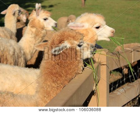 Alpaca In Farm