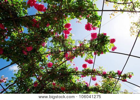 Flowering Rosebed Above Your Head