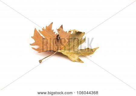 Autumn Leave Isolated On White Background