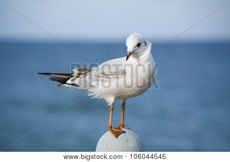Coquettish Little Sea-gull