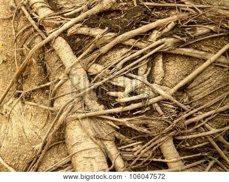Banyan Tree Roots,large Trees