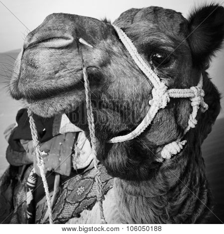 Camel in the Thar Desert Transportation Heat Concept