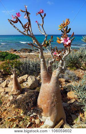 Socotra Endemics