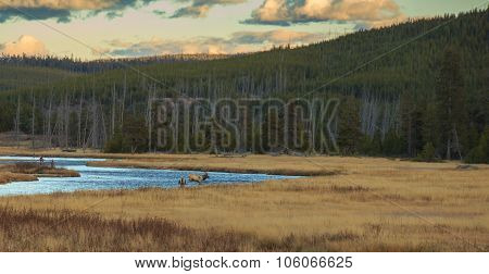 A Bull Elk Walks Through Water Just Feet Away From Two Men Fly Fishing.