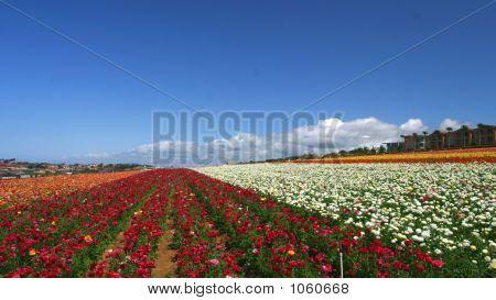 Flower Fields2