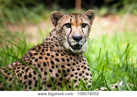 Close-up Of A Beautiful Cheetah