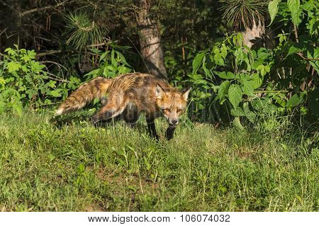 Red Fox Vixen (vulpes Vulpes) Creeps Out Of Woods