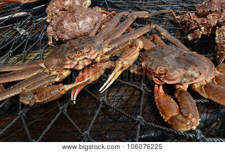 Close-up of Opilio Crab In Net