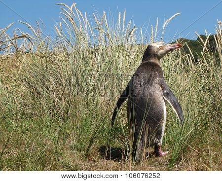An Adult Yellow Eyed Penguin in its Grassy Habitat