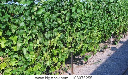 Immature Grapes on the Vine
