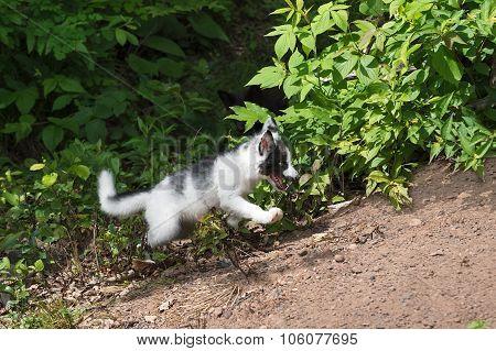 Young Marble Fox (vulpes Vulpes) Frolics