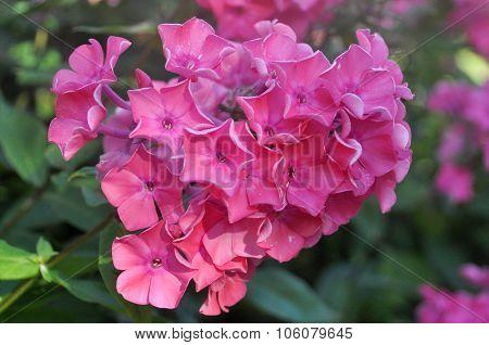 Pink Floks Flower