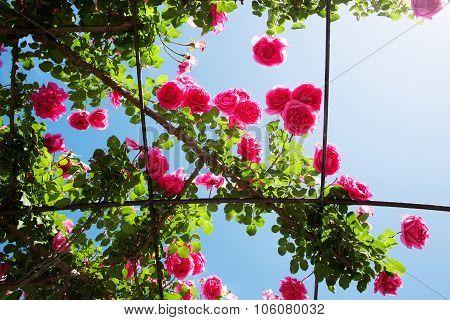 Creeping Pink Roses