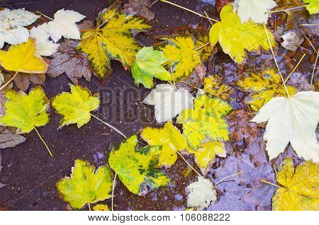 Top View Of A Wet Autumn Maple Leaves Closeup