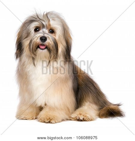 Beautiful Happy Young Bichon Havanese Dog