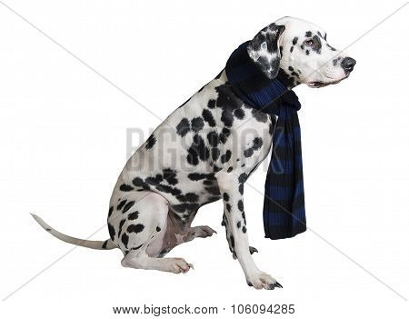 Dog Dalmatian Sitting In A Black-and-blue Knitted Warm Scarf