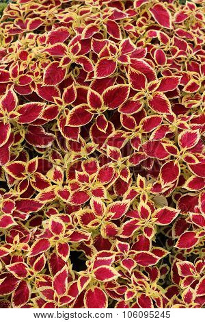 Coleus leaves