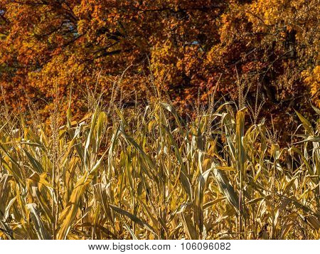 Cornstalks Closeup in Autumn