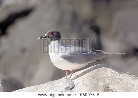 Swallow-tailed Gull On A Rock