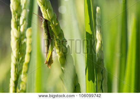 Green Grasshopper On Paddy Rice Of Pest Agriculture